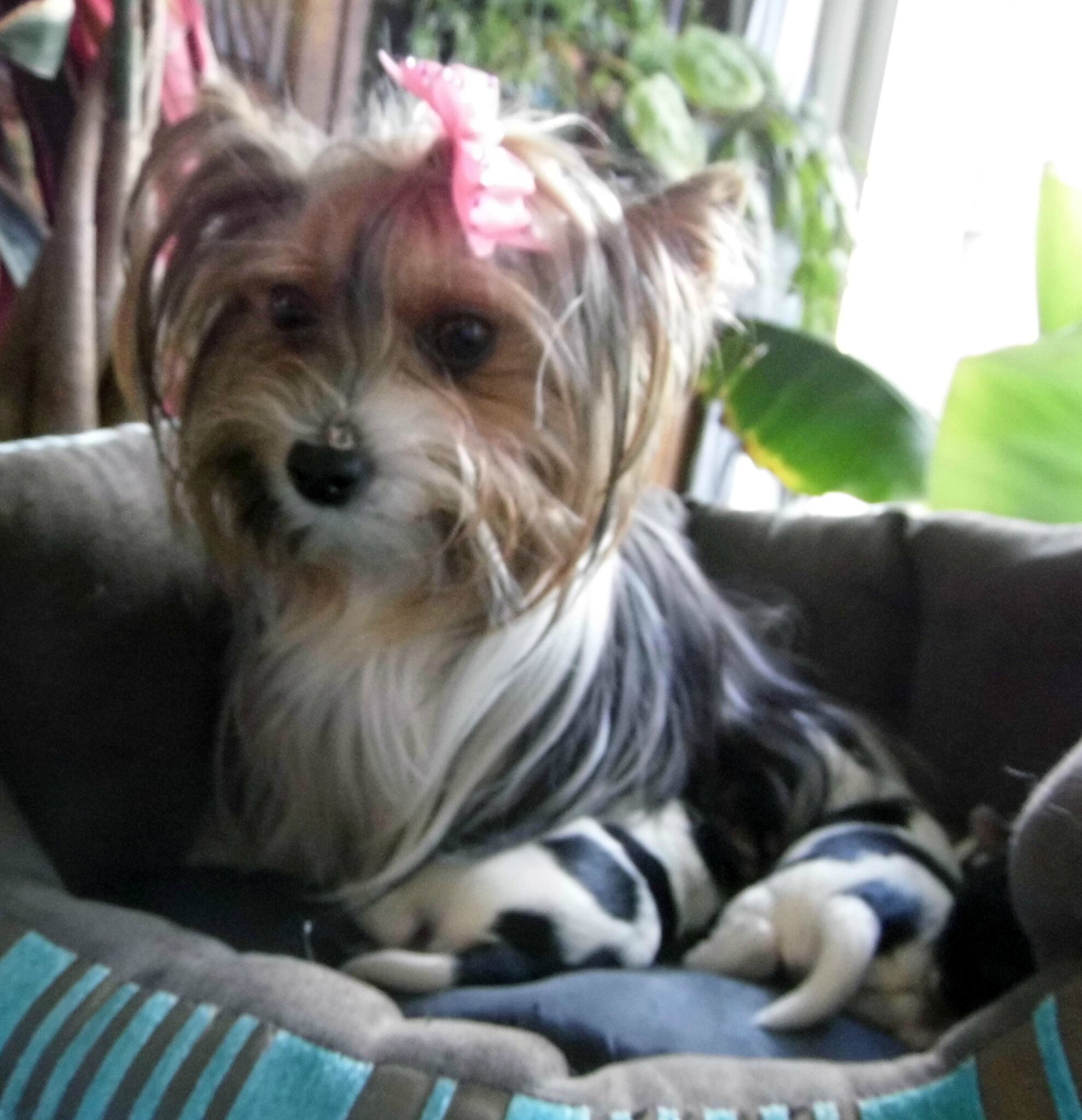 Chiots Biewer Yorkshire Terrier Petite Taille