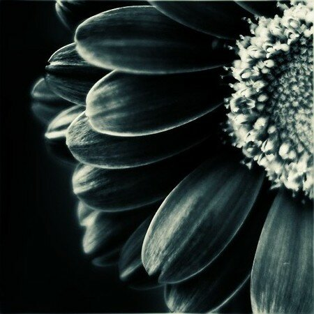 marguerite1_sp