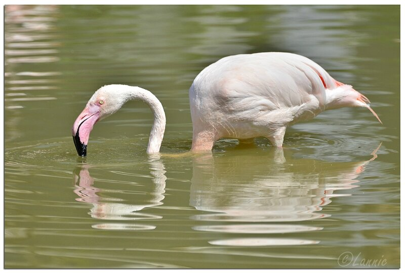 Zoo_Vincennes_flamant_rose
