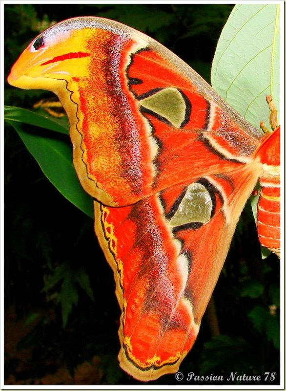 Papillon Attacus Atlas ou Bombyx Atlas (10)