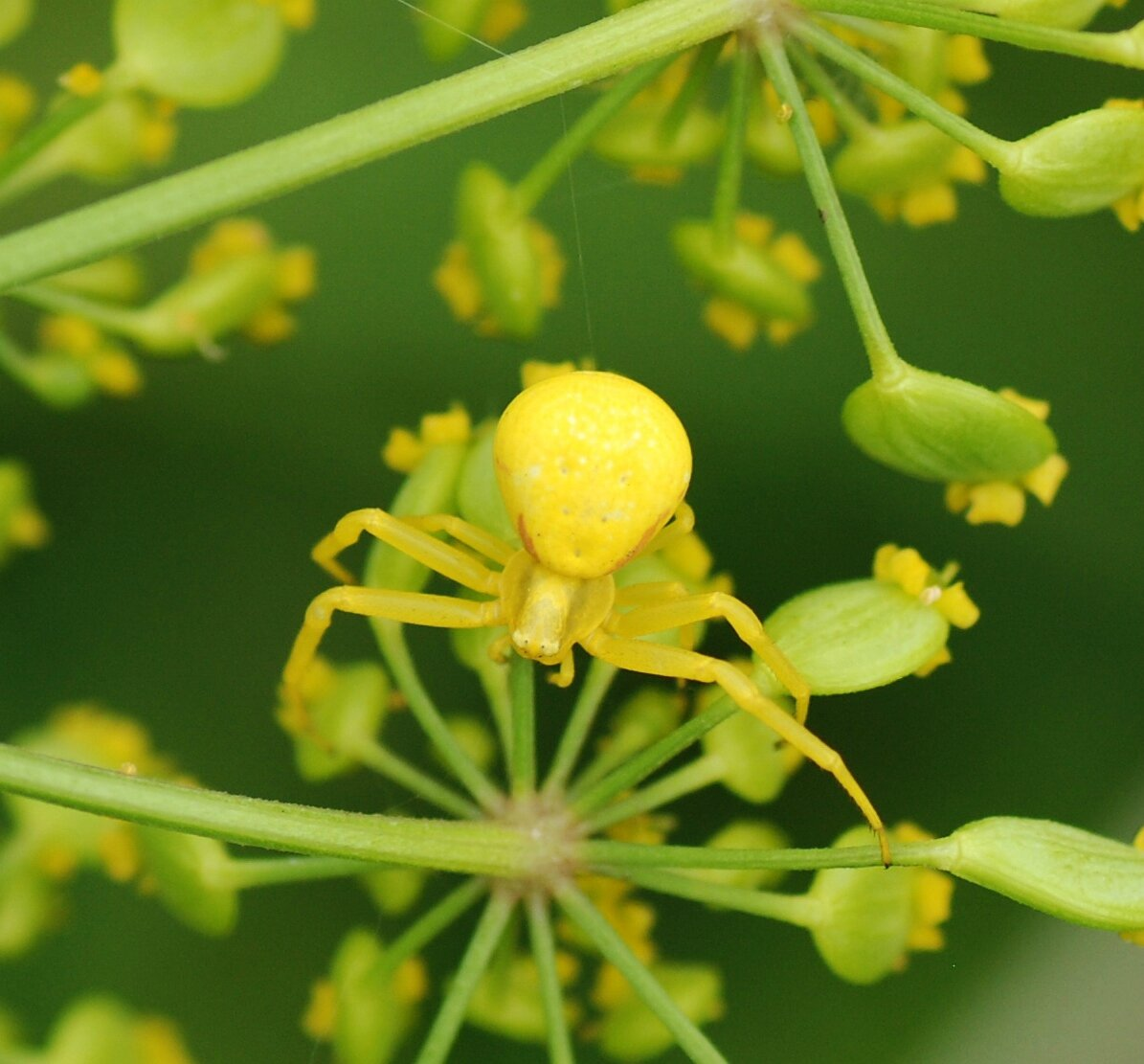L'araignée crabe (Misumena vatia)