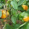 poivrons jaunes - www.passionpotager.canalblog.com