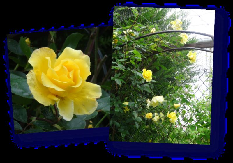 rose jaune de la chatterie