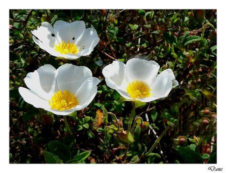 fleurs_blanches