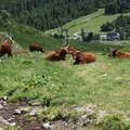 2009 06 24 Des vaches au pied du Puy du Sancy