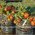 Des tomates sans mildiou dans des systèmes du petit jardin des écoliers