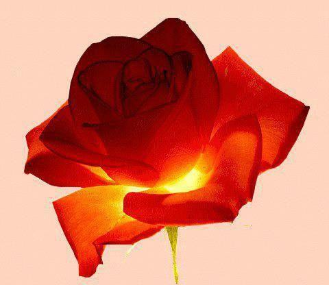 rose lumineuse de claude marmet_n