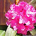 Rhododendron 280415
