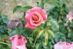 Fête Ecurie du Val Fête de la rose à Veules 210