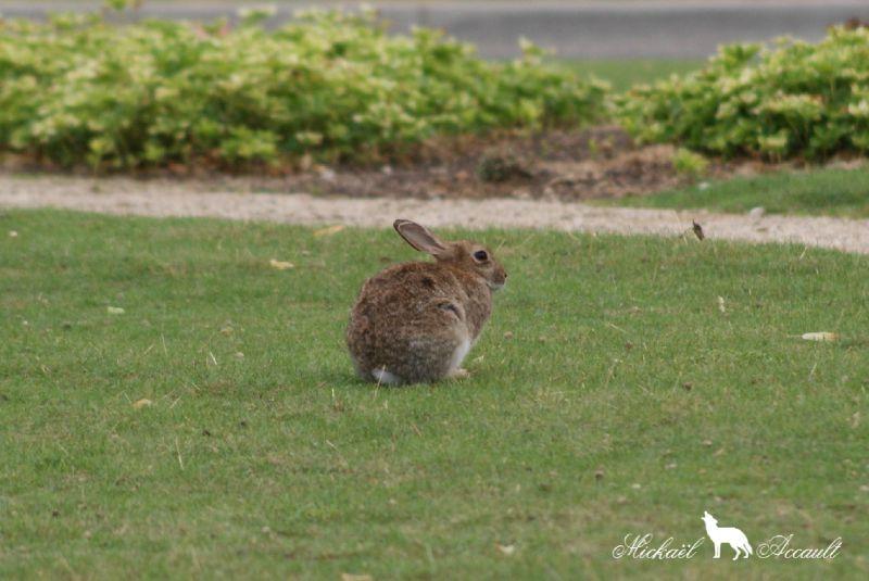 Le lapin commun ou lapin de garenne