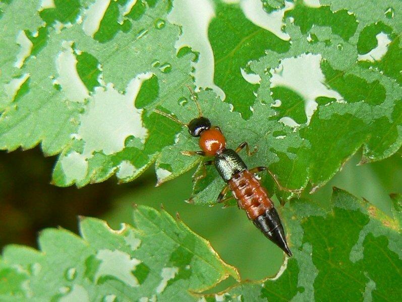 Paederus littoralis insectes en cornouaille - Insecte rouge et noir ...