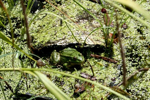 grenouille -a