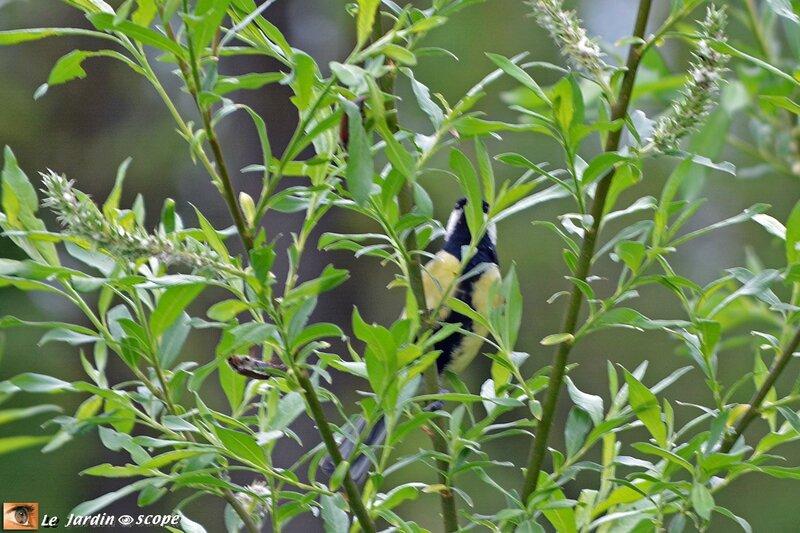 Une mésange et des hannetons jouent à cache-cache