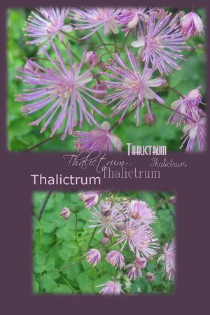 thalictrum___1