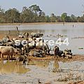 160_Ratanakiri_district de Voeun Sai_élevage de buffles