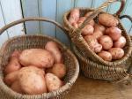 pomme de terre mira