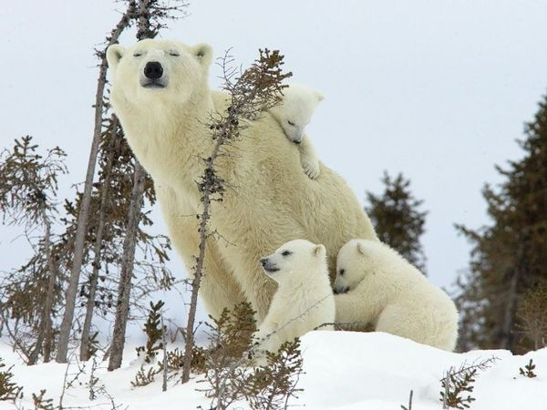 Famille_d_ours_blanc