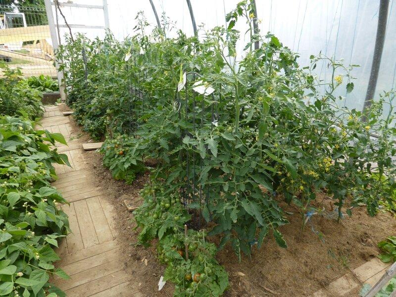 30-tomates-serre (4)