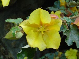 fremontodendron2