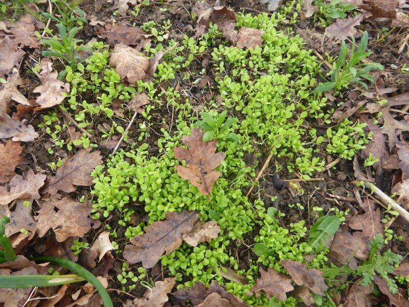 11-semis spontanés salade (2)