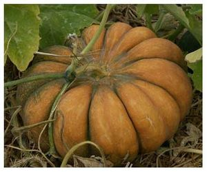 courge-muscade