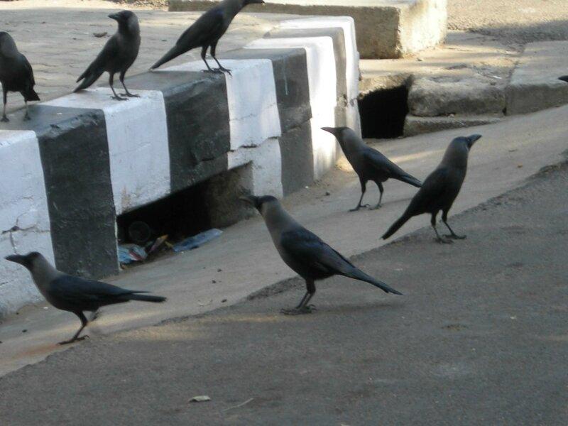 Les Corbeaux 2