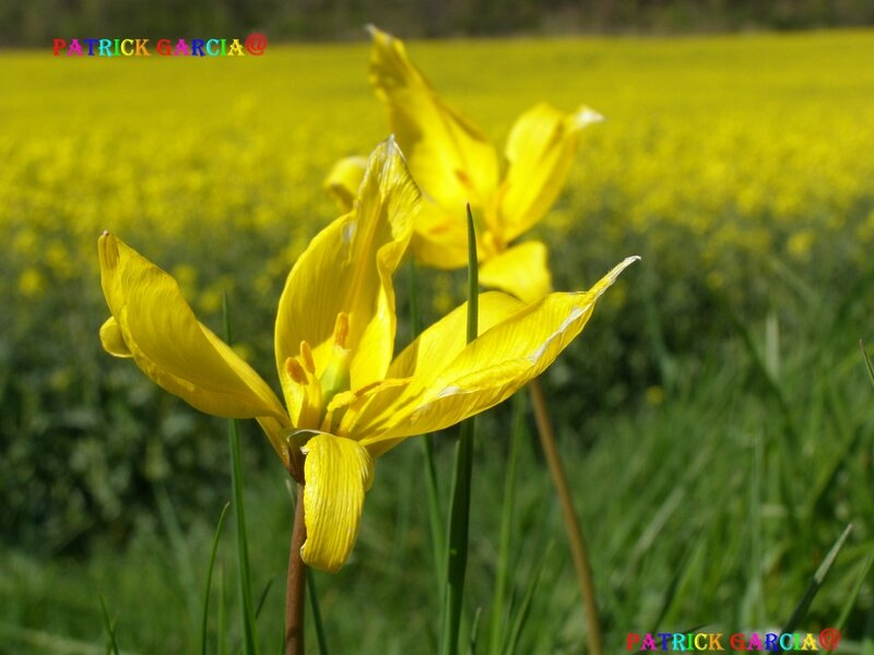 Tulipa sylvestris454_1a3 4 copie