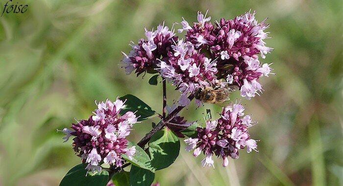 fleurs groupées en cymes denses au sommet des rameaux