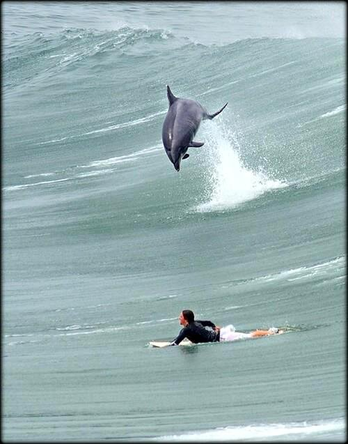 dauphin_saute_surfeur