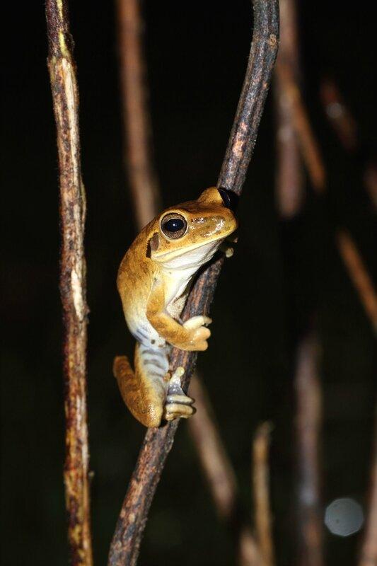 Hyspiboas cf. raniceps - Rainette des pripris