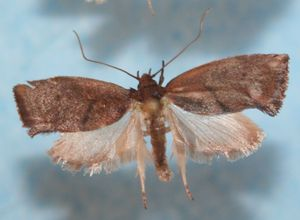 Orygocera amphitricha reunionensis 03 (5)