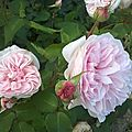 Roses_anciennes