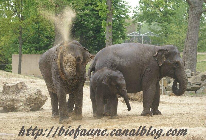 ELEPHANTS D'ASIE AU PARC ANIMALIER BELGE DE PLANCKENDAEL