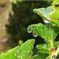 Géraniums en fin de vie