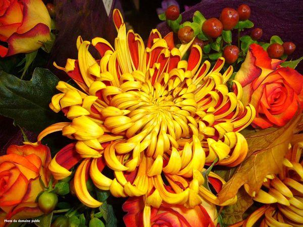 chrysanthème superbe