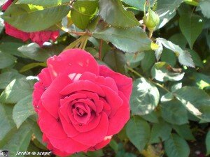 69_Rose_rouge