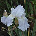 Iris-remontant-Immortality