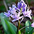 Scille lis-jacinthe (scilla lilio-hyacinthus)
