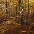 2009 10 31 Dans les bois au milieu des Fayards (Hêtres) (4)