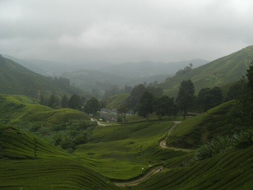 Cameron Highlands, trek, Tea plantation