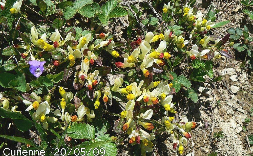 Polygala petit buis blog v g tal - Polygala myrtifolia feuilles jaunes ...