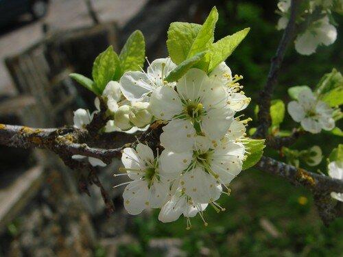 2008 05 04 Fleurs de prunier