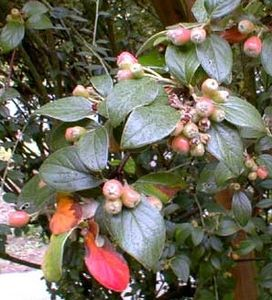 COTONEASTER_franchetii