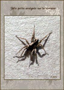 araignée noire et beige