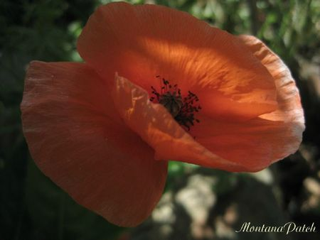 Coquelicot jardin MontanaPatch (8)