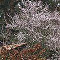 Prunus 2502165