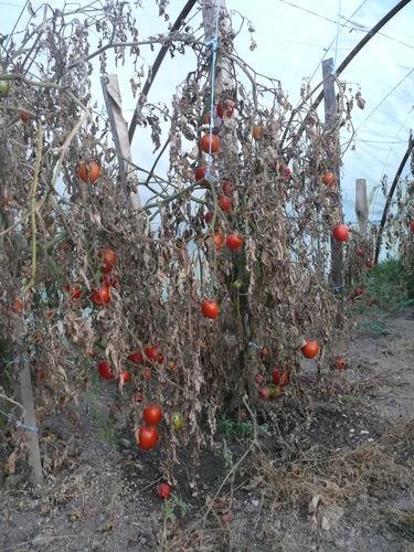 2008 11 03 Mes tomates sous serre, feuilles gelés mais fruit conservés