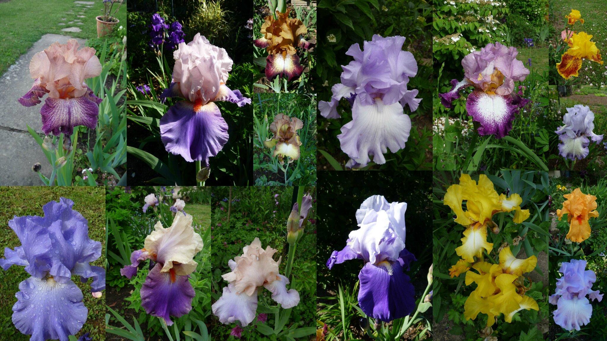 290 petit tour dans les iris du jardin d 39 olys cheznadette for Aubade jardin d iris