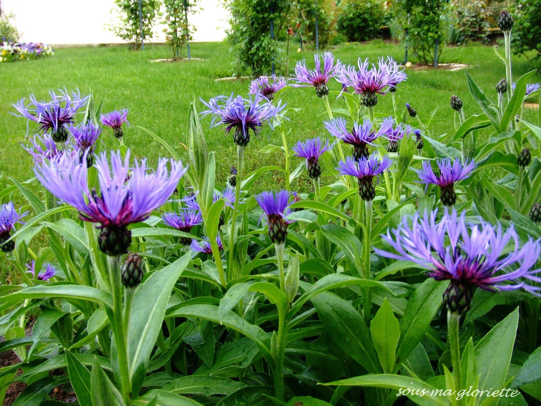 palette bleue et mauve au jardin sous ma gloriette. Black Bedroom Furniture Sets. Home Design Ideas