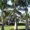 Magnifiques Palmiers.